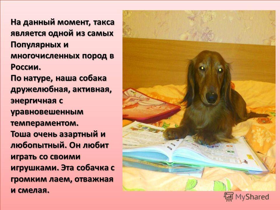 На данный момент, такса является одной из самых Популярных и многочисленных пород в России. По натуре, наша собака дружелюбная, активная, энергичная с уравновешенным темпераментом. Тоша очень азартный и любопытный. Он любит играть со своими игрушками
