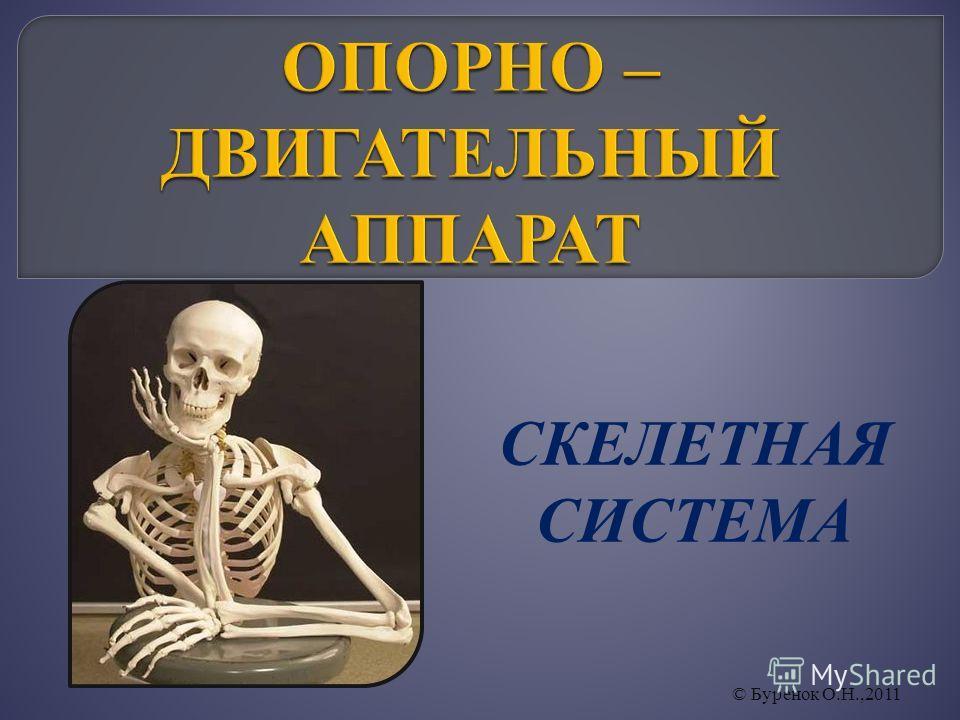 СКЕЛЕТНАЯ СИСТЕМА © Буренок О.Н.,2011