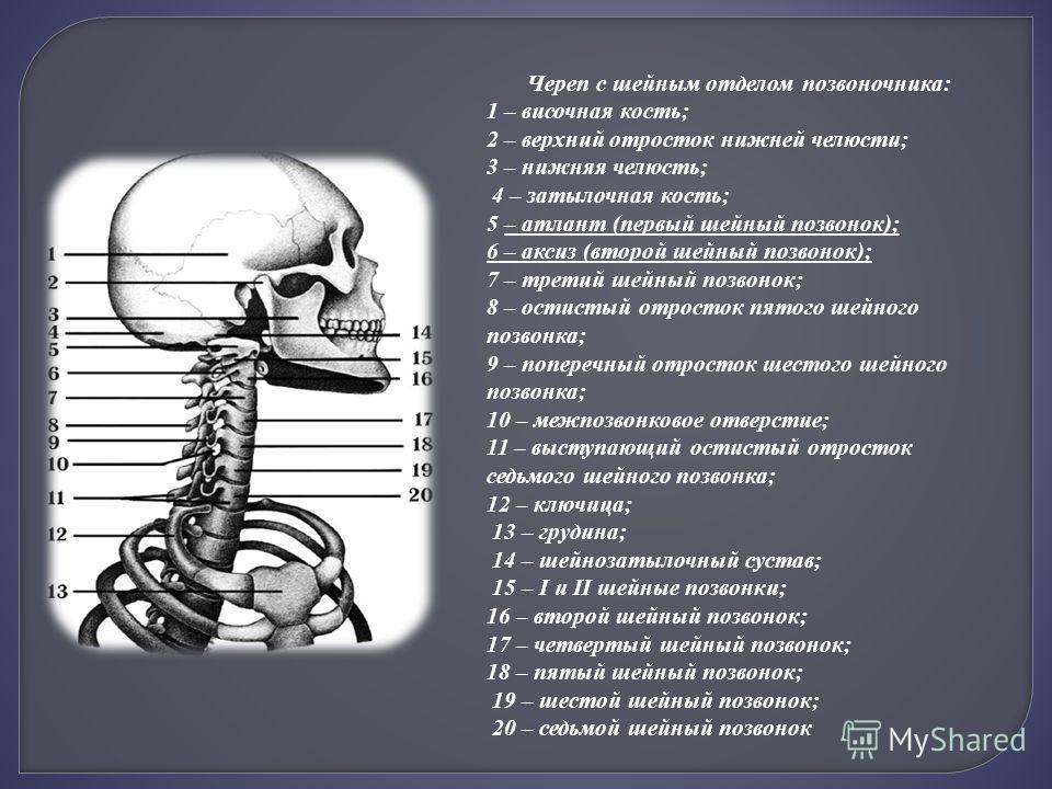 Череп с шейным отделом позвоночника: 1 – височная кость; 2 – верхний отросток нижней челюсти; 3 – нижняя челюсть; 4 – затылочная кость; 5 – атлант (первый шейный позвонок); 6 – аксиз (второй шейный позвонок); 7 – третий шейный позвонок; 8 – остистый
