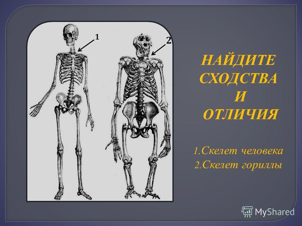 НАЙДИТЕ СХОДСТВА И ОТЛИЧИЯ 1.Скелет человека 2. Скелет гориллы 1 2