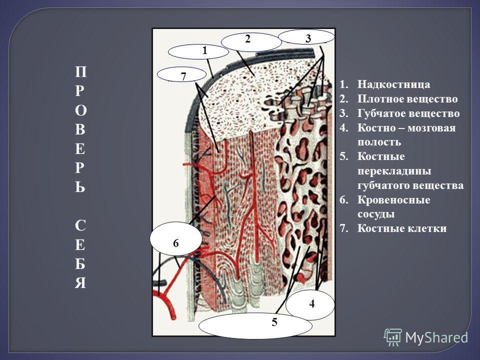 1 1 1.Надкостница 2.Плотное вещество 3.Губчатое вещество 4.Костно – мозговая полость 5.Костные перекладины губчатого вещества 6.Кровеносные сосуды 7.Костные клетки 23 4 5 6 7 ПРОВЕРЬ СЕБЯПРОВЕРЬ СЕБЯ