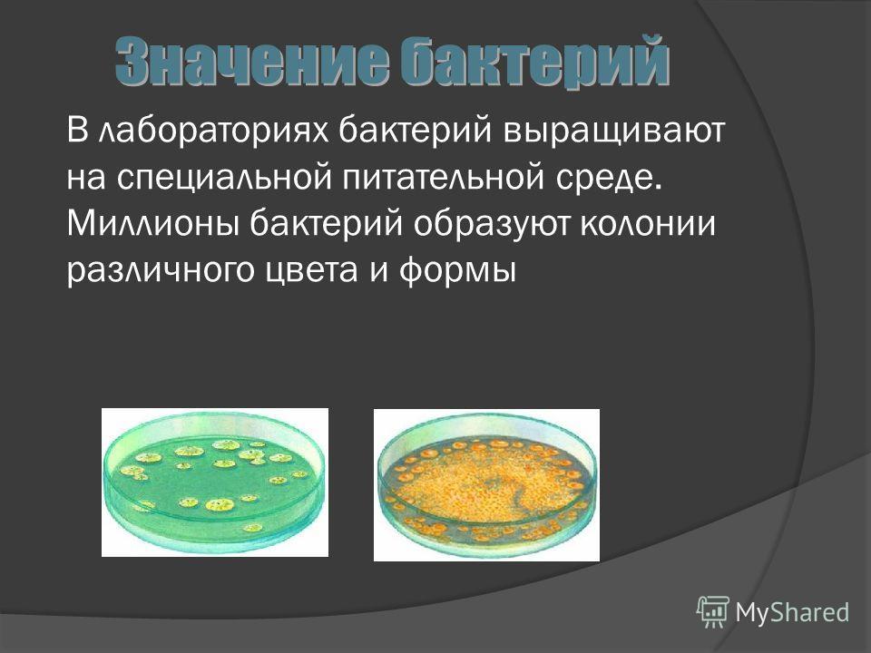 В лабораториях бактерий выращивают на специальной питательной среде. Миллионы бактерий образуют колонии различного цвета и формы