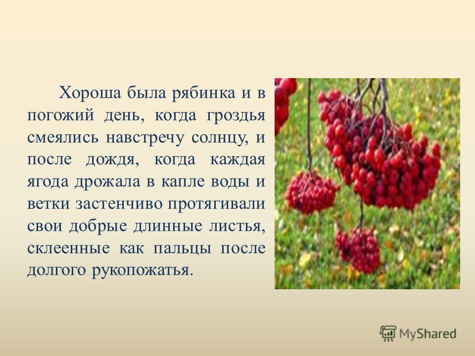 Хороша была рябинка и в погожий день, когда гроздья смеялись навстречу солнцу, и после дождя, когда каждая ягода дрожала в капле воды и ветки застенчиво протягивали свои добрые длинные листья, склеенные как пальцы после долгого рукопожатья.
