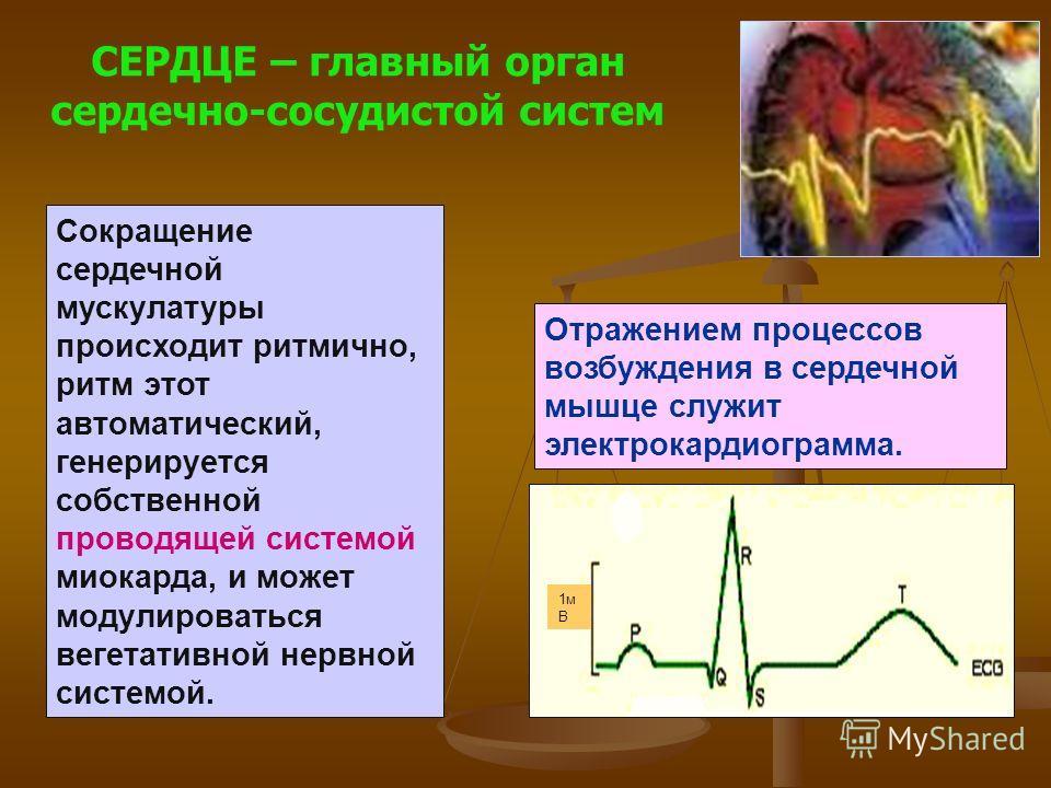 Сокращение сердечной мускулатуры происходит ритмично, ритм этот автоматический, генерируется собственной проводящей системой миокарда, и может модулироваться вегетативной нервной системой. СЕРДЦЕ – главный орган сердечно-сосудистой систем Отражением