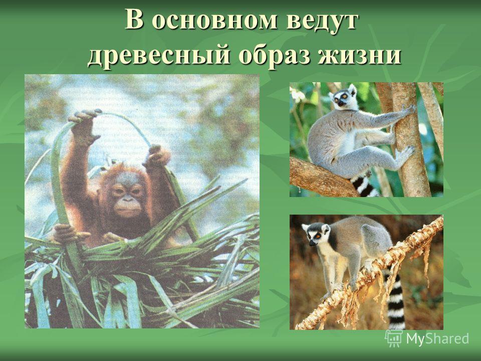 Цели урока: Изучить особенности строения и жизнедеятельности приматов. Рассмотреть многообразие приматов. Рассмотреть сходство человека с человекообразными обезьянами.