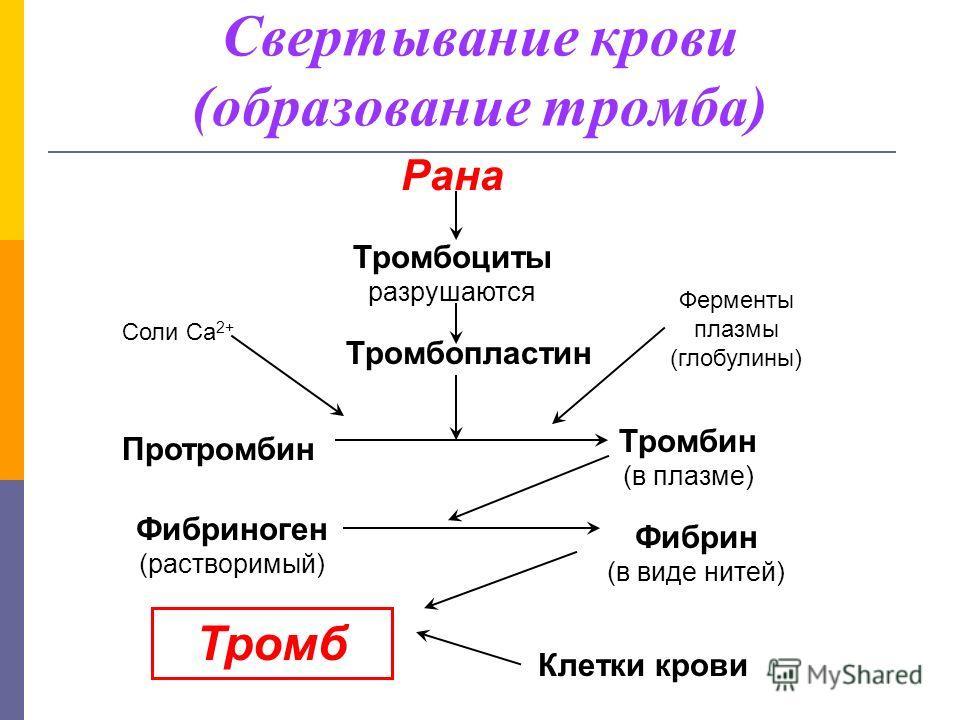 Свертывание крови (образование тромба) Рана Тромбоциты разрушаются Тромбопластин Соли Са 2+ Ферменты плазмы (глобулины) Протромбин Тромбин (в плазме) Фибриноген (растворимый) Фибрин (в виде нитей) Тромб Клетки крови