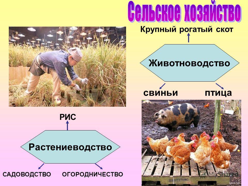 РИС САДОВОДСТВО ОГОРОДНИЧЕСТВО Крупный рогатый скот свиньи птица Животноводство Растениеводство