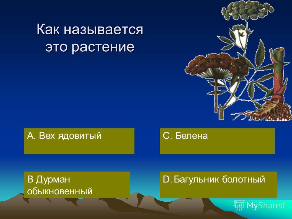 А. Вех ядовитый В Дурман обыкновенный D.Багульник болотный С. Белена Как называется это растение