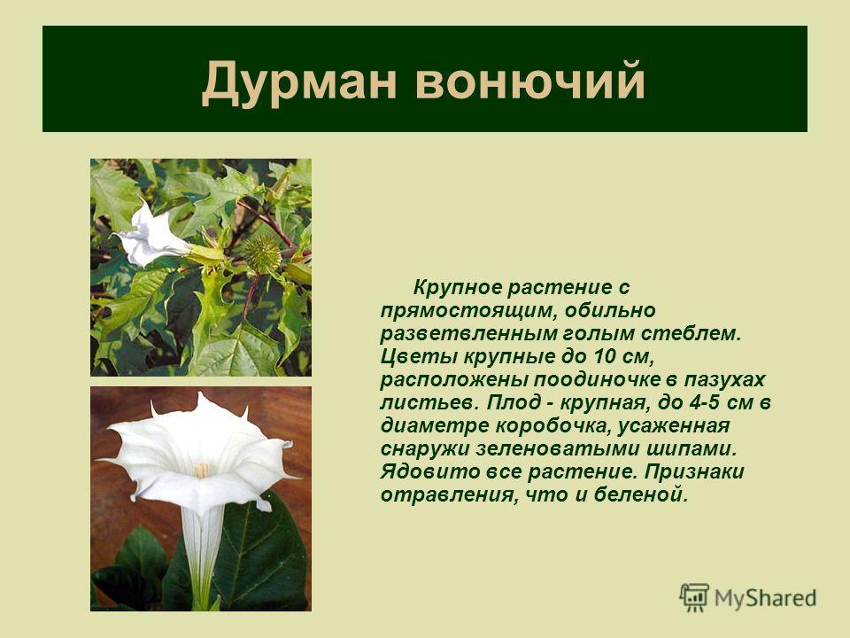 Дурман вонючий Крупное растение с прямостоящим, обильно разветвленным голым стеблем. Цветы крупные до 10 см, расположены поодиночке в пазухах листьев. Плод - крупная, до 4-5 см в диаметре коробочка, усаженная снаружи зеленоватыми шипами. Ядовито все