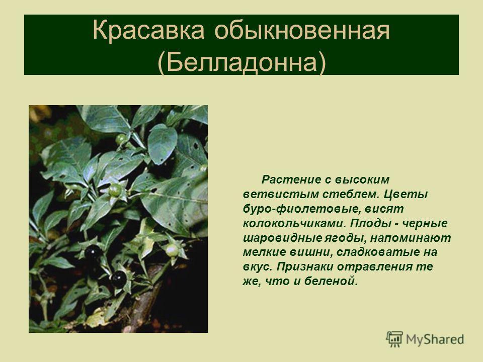 Красавка обыкновенная (Белладонна) Растение с высоким ветвистым стеблем. Цветы буро-фиолетовые, висят колокольчиками. Плоды - черные шаровидные ягоды, напоминают мелкие вишни, сладковатые на вкус. Признаки отравления те же, что и беленой.
