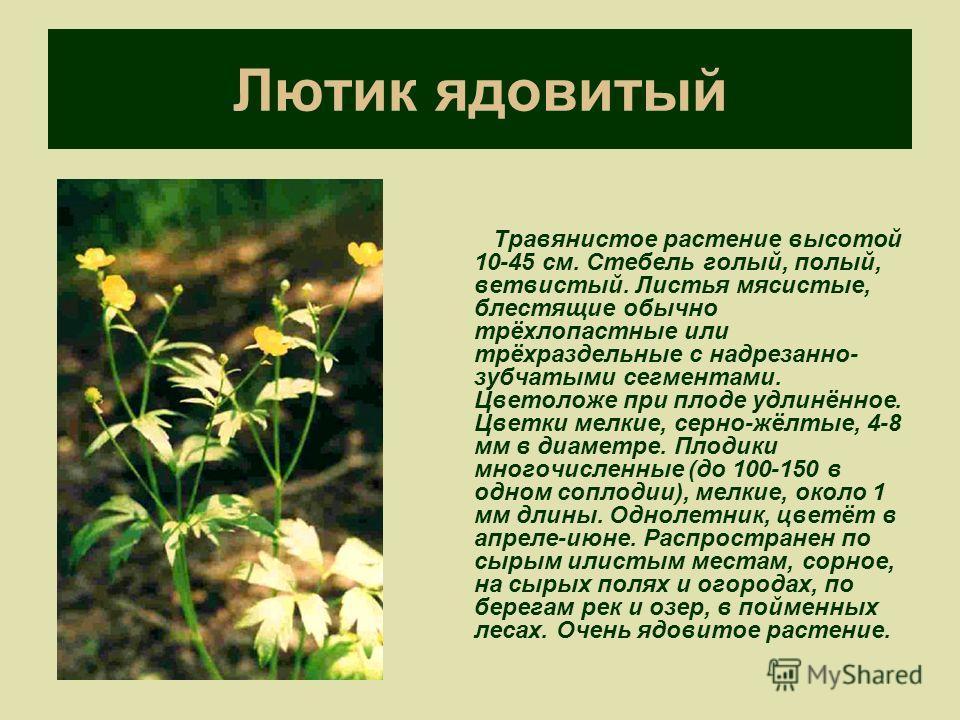 Лютик ядовитый Травянистое растение высотой 10-45 см. Стебель голый, полый, ветвистый. Листья мясистые, блестящие обычно трёхлопастные или трёхраздельные с надрезанно- зубчатыми сегментами. Цветоложе при плоде удлинённое. Цветки мелкие, серно-жёлтые,