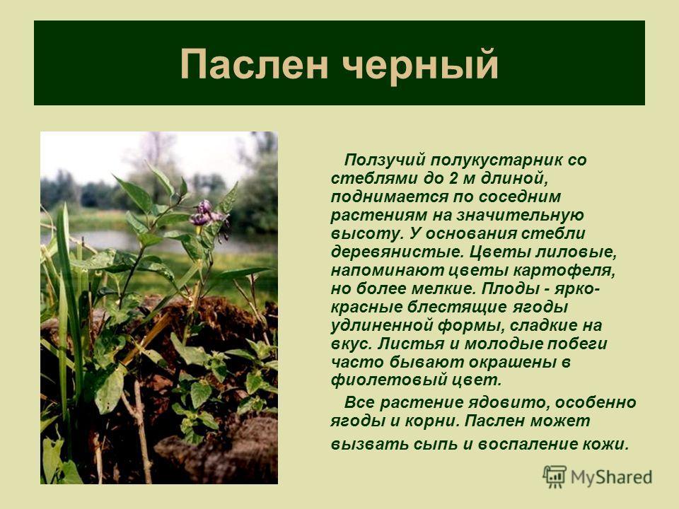 Паслен черный Ползучий полукустарник со стеблями до 2 м длиной, поднимается по соседним растениям на значительную высоту. У основания стебли деревянистые. Цветы лиловые, напоминают цветы картофеля, но более мелкие. Плоды - ярко- красные блестящие яго