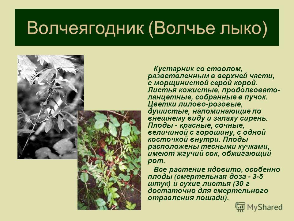 Волчеягодник (Волчье лыко) Кустарник со стволом, разветвленным в верхней части, с морщинистой серой корой. Листья кожистые, продолговато- ланцетные, собранные в пучок. Цветки лилово-розовые, душистые, напоминающие по внешнему виду и запаху сирень. Пл