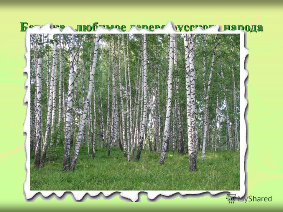 Березка - любимое дерево русского народа