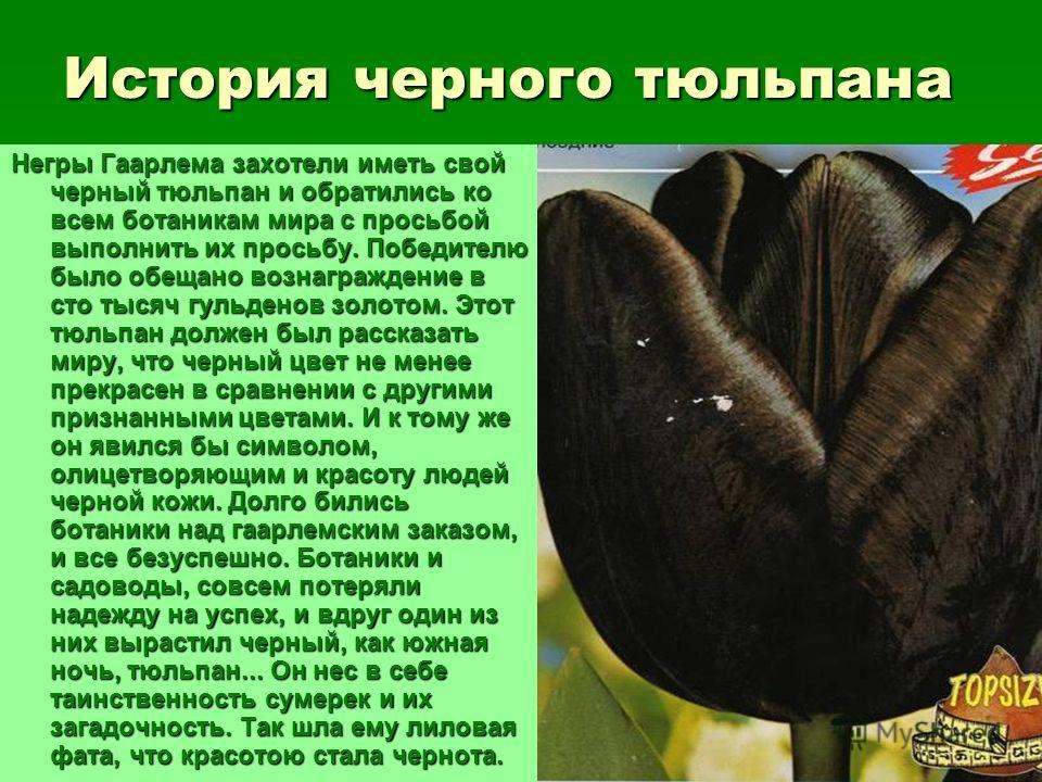 История черного тюльпана Негры Гаарлема захотели иметь свой черный тюльпан и обратились ко всем ботаникам мира с просьбой выполнить их просьбу. Победителю было обещано вознаграждение в сто тысяч гульденов золотом. Этот тюльпан должен был рассказать м