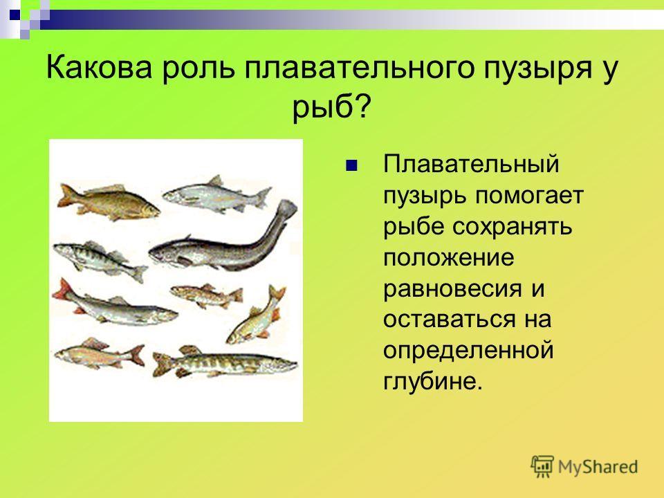 Какова роль плавательного пузыря у рыб? Плавательный пузырь помогает рыбе сохранять положение равновесия и оставаться на определенной глубине.