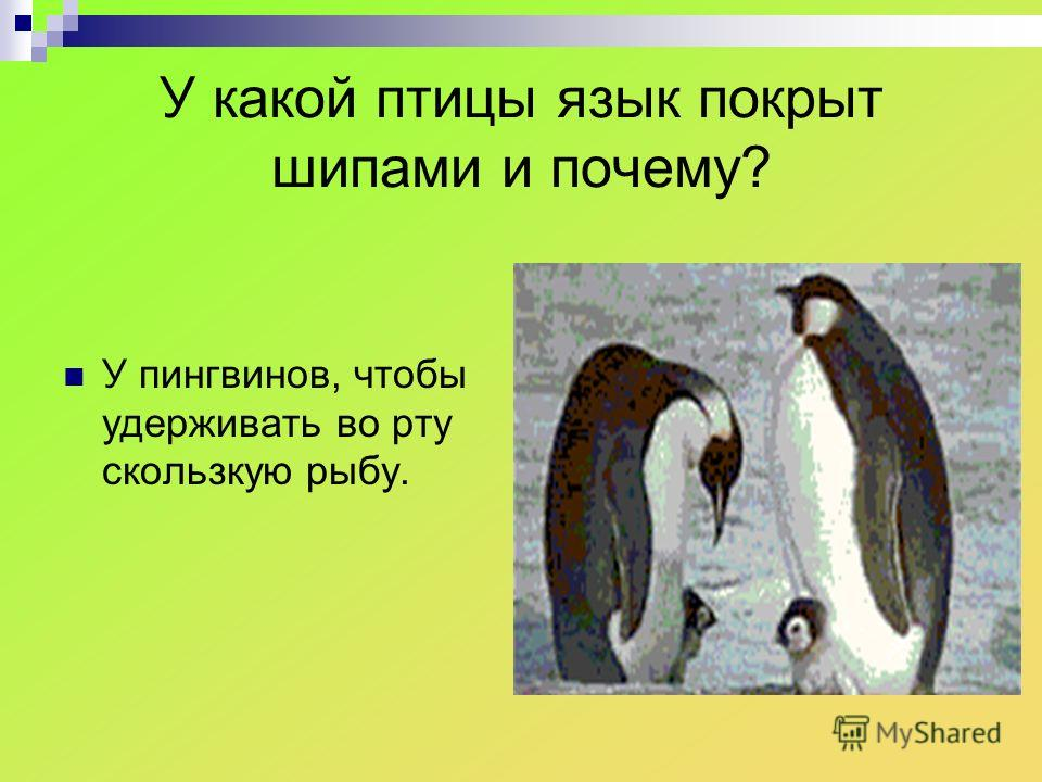 У какой птицы язык покрыт шипами и почему? У пингвинов, чтобы удерживать во рту скользкую рыбу.