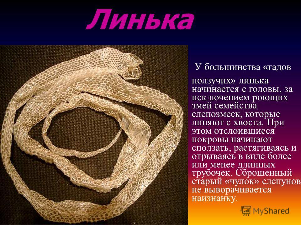 У большинства « гадов ползучих » линька начинается с головы, за исключением роющих змей семейства слепозмеек, которые линяют с хвоста. При этом отслоившиеся покровы начинают сползать, растягиваясь и отрываясь в виде более или менее длинных трубочек.