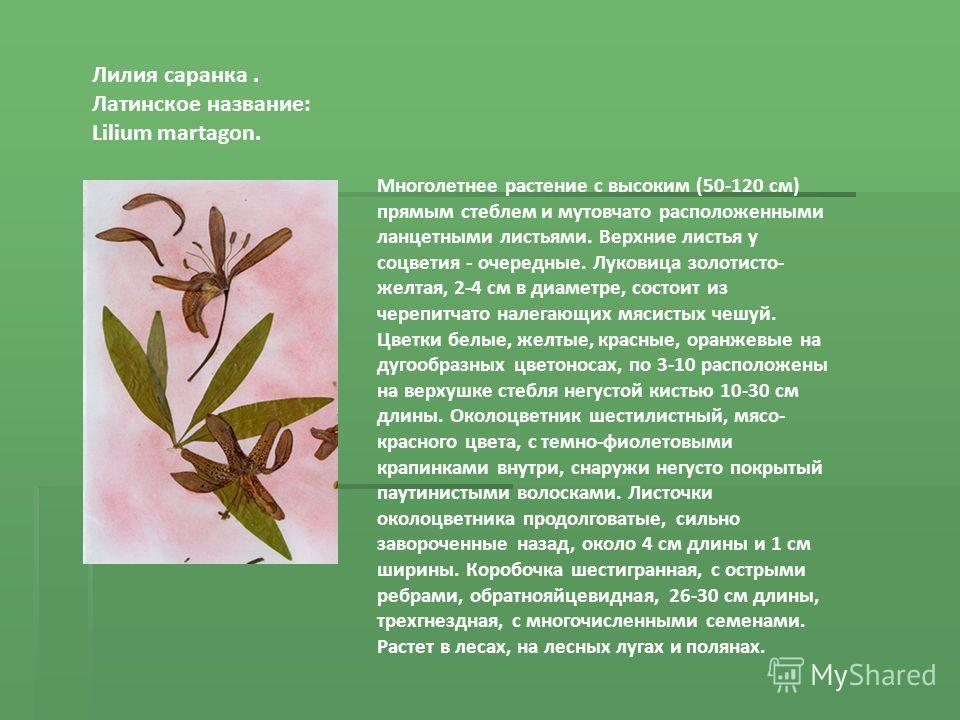 Лилия саранка. Латинское название: Lilium martagon. Многолетнее растение с высоким (50-120 см) прямым стеблем и мутовчато расположенными ланцетными листьями. Верхние листья у соцветия - очередные. Луковица золотисто- желтая, 2-4 см в диаметре, состои