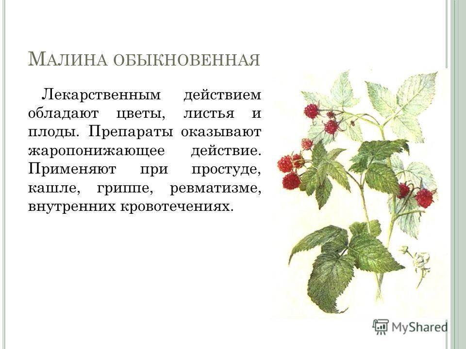 М АЛИНА ОБЫКНОВЕННАЯ Лекарственным действием обладают цветы, листья и плоды. Препараты оказывают жаропонижающее действие. Применяют при простуде, кашле, гриппе, ревматизме, внутренних кровотечениях.