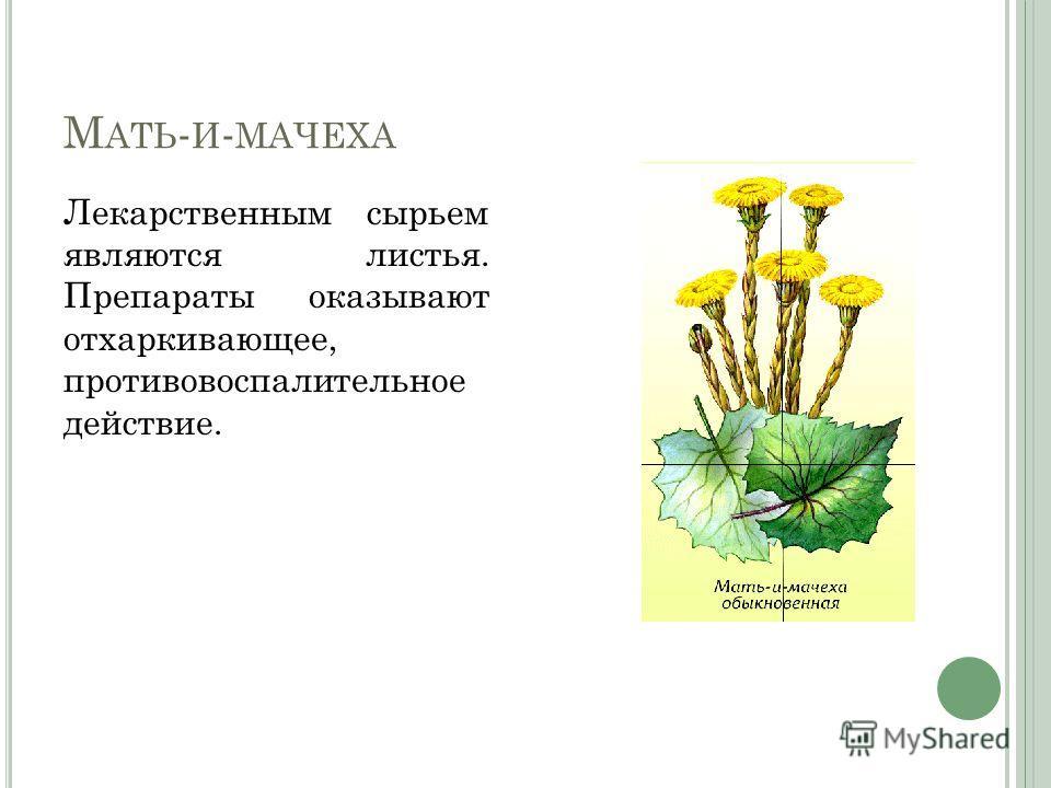 М АТЬ - И - МАЧЕХА Лекарственным сырьем являются листья. Препараты оказывают отхаркивающее, противовоспалительное действие.