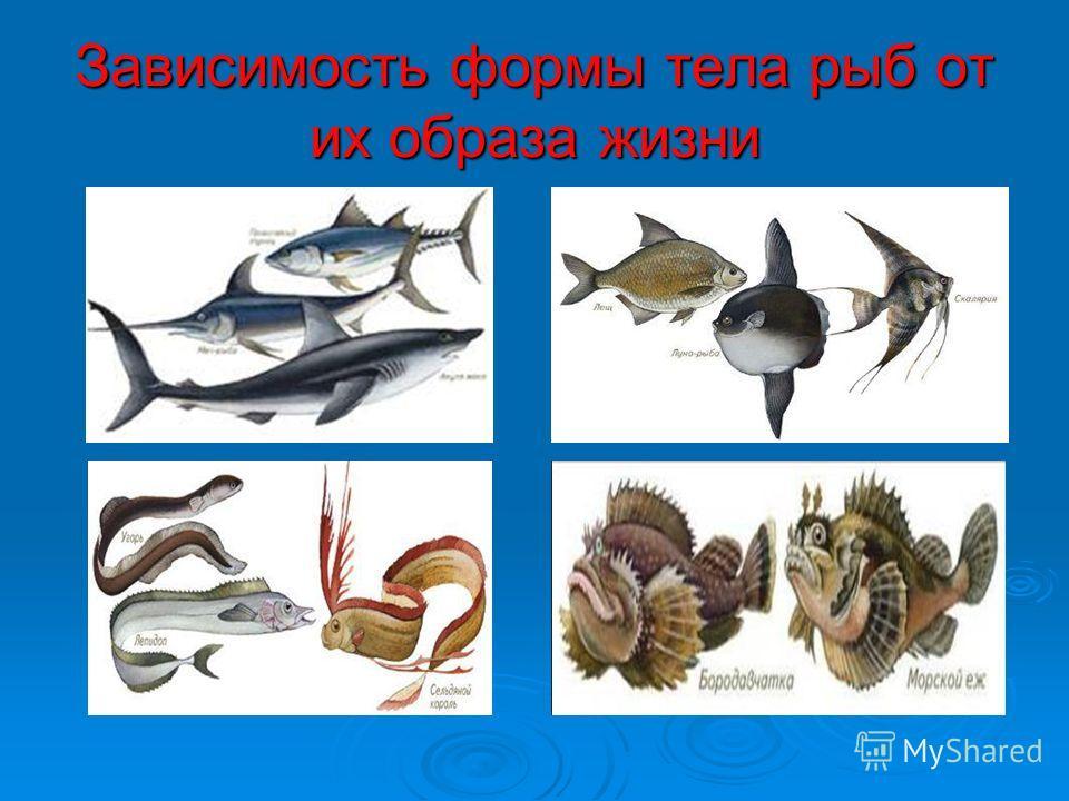 Зависимость формы тела рыб от их образа жизни