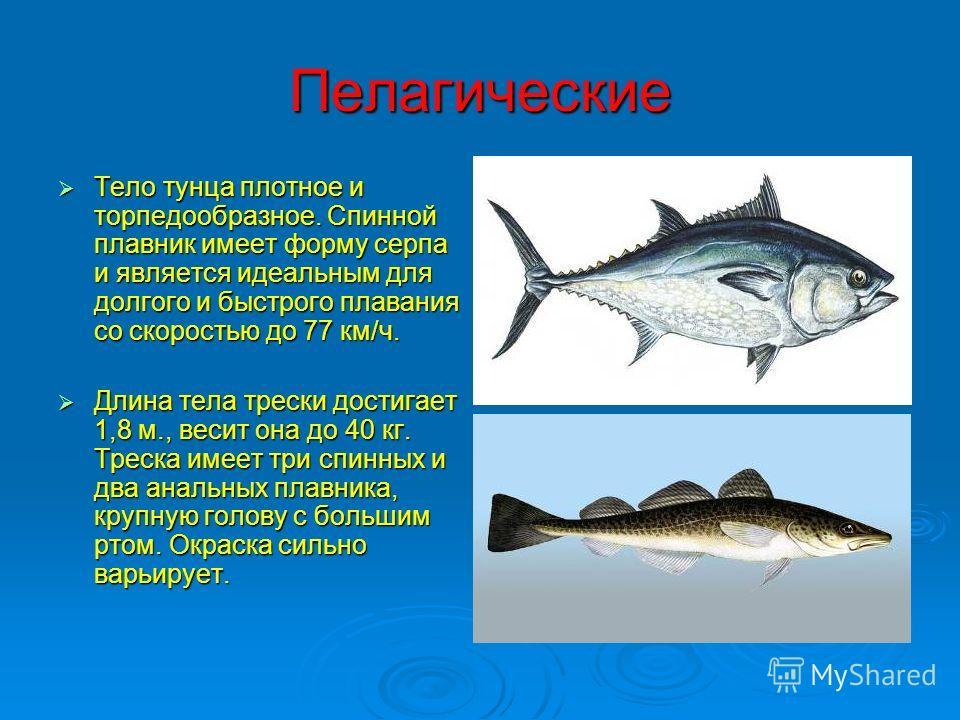 Пелагические Тело тунца плотное и торпедообразное. Спинной плавник имеет форму серпа и является идеальным для долгого и быстрого плавания со скоростью до 77 км/ч. Тело тунца плотное и торпедообразное. Спинной плавник имеет форму серпа и является идеа