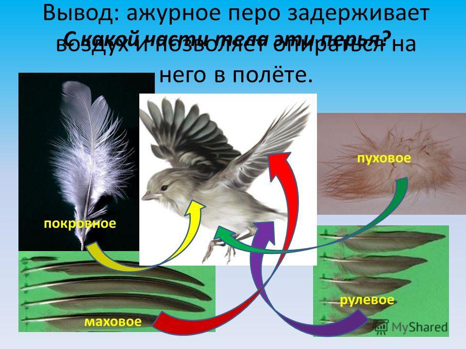 Вывод: ажурное перо задерживает воздух и позволяет опираться на него в полёте. покровное пуховое маховое рулевое С какой части тела эти перья?