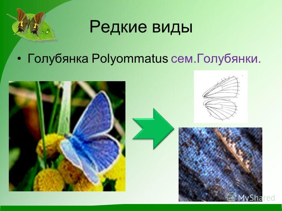 Редкие виды Голубянка Polyommatus сем.Голубянки.