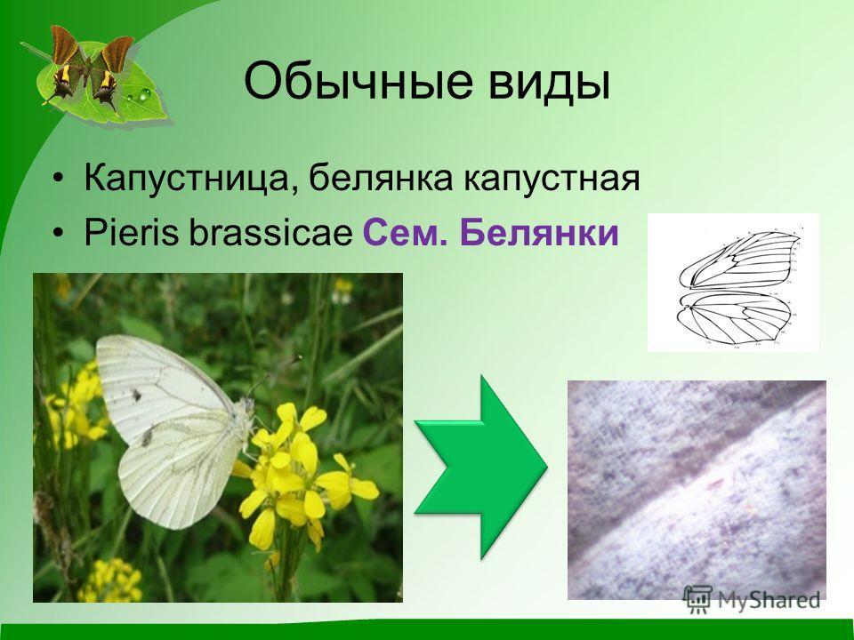 Обычные виды Капустница, белянка капустная Pieris brassicae Сем. Белянки