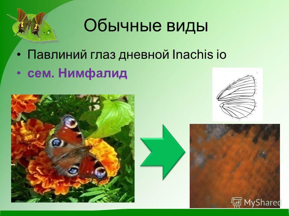 Обычные виды Павлиний глаз дневной Inachis io сем. Нимфалид