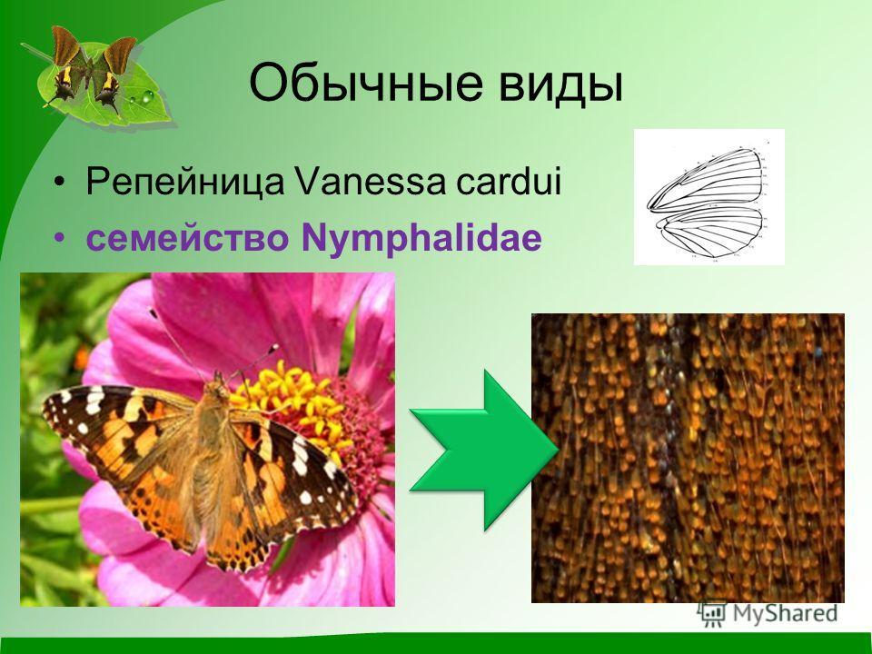 Обычные виды Репейница Vanessa cardui семейство Nymphalidae