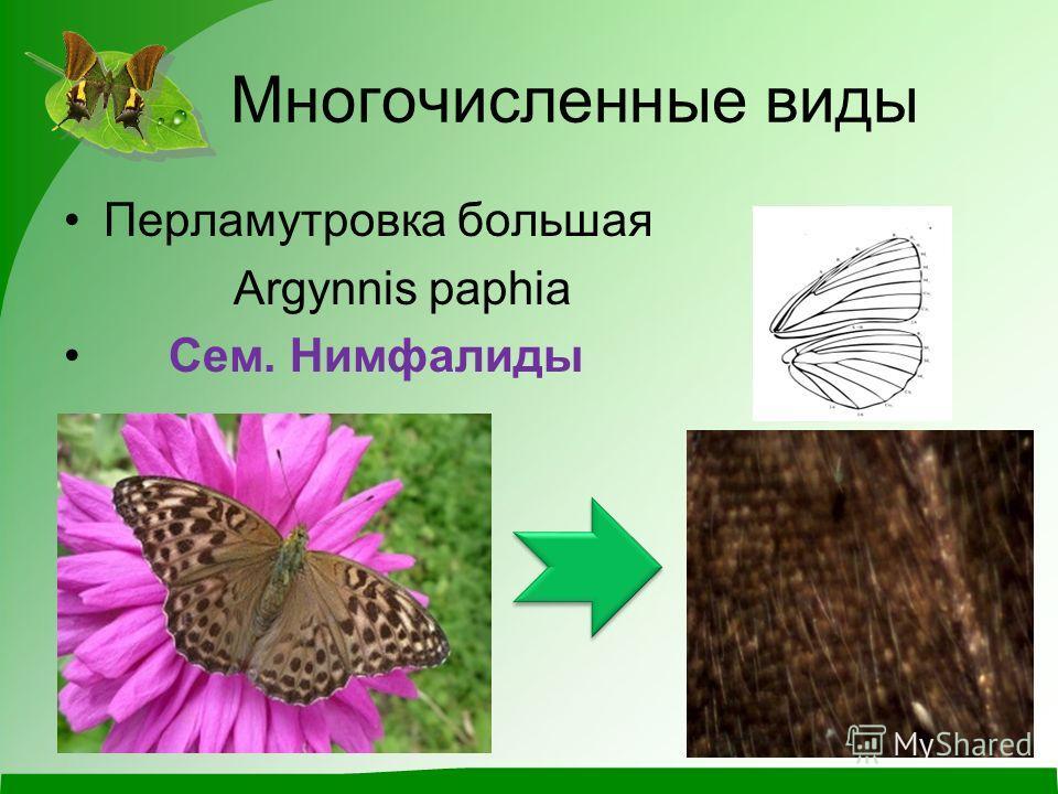 Многочисленные виды Перламутровка большая Argynnis paphia Сем. Нимфалиды