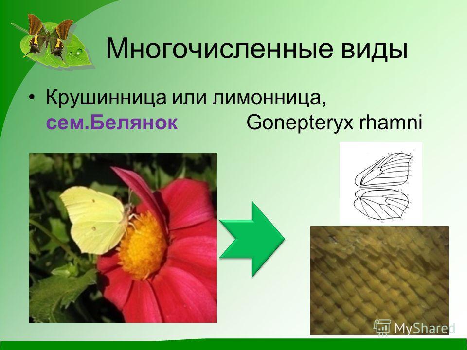 Многочисленные виды Крушинница или лимонница, сем.Белянок Gonepteryx rhamni