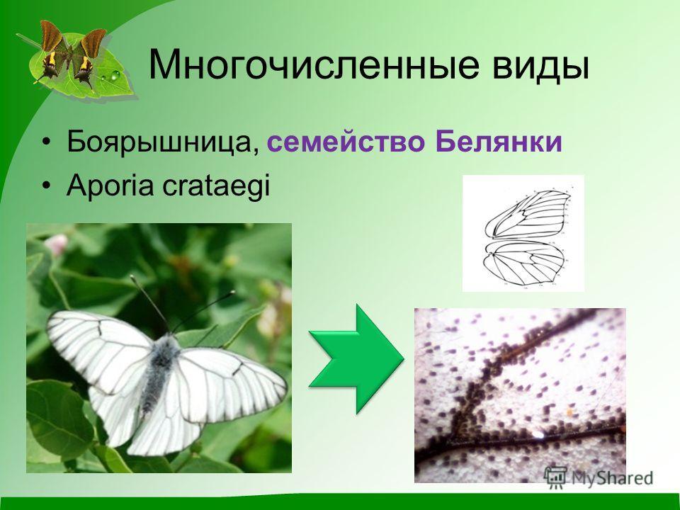 Многочисленные виды Боярышница, семейство Белянки Aporia crataegi