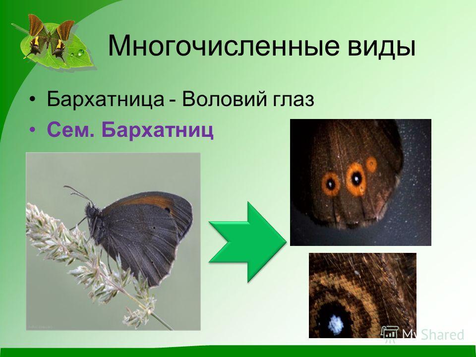 Многочисленные виды Бархатница - Воловий глаз Сем. Бархатниц
