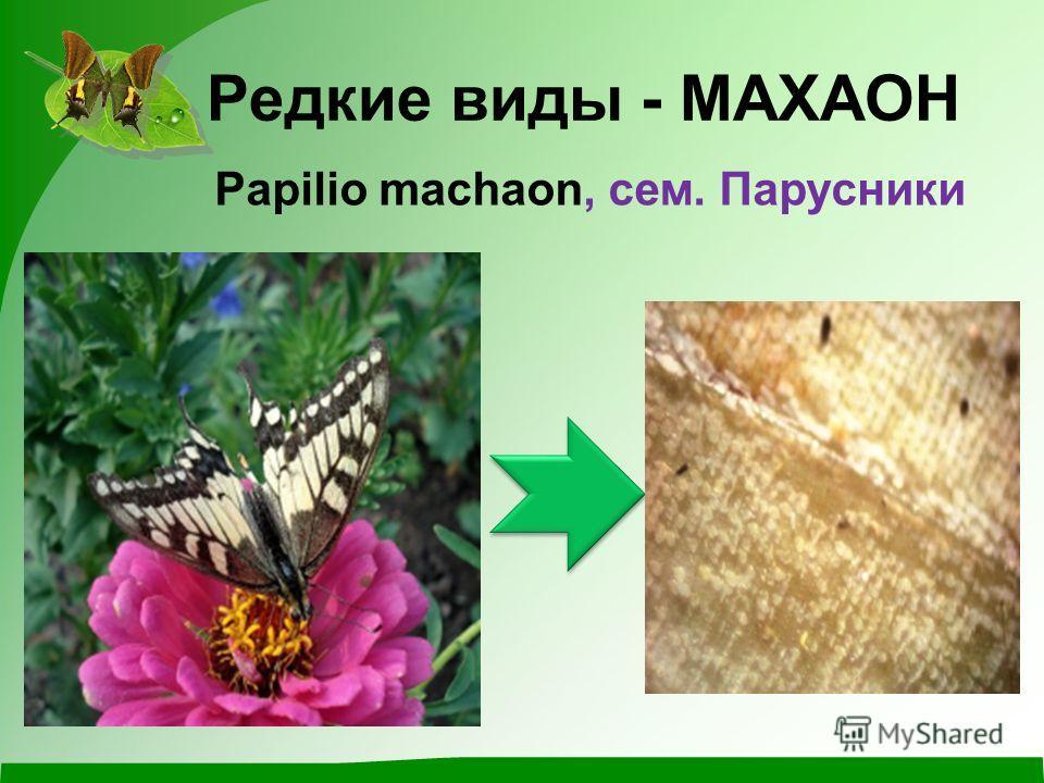 Редкие виды - МАХАОН Papilio machaon, сем. Парусники
