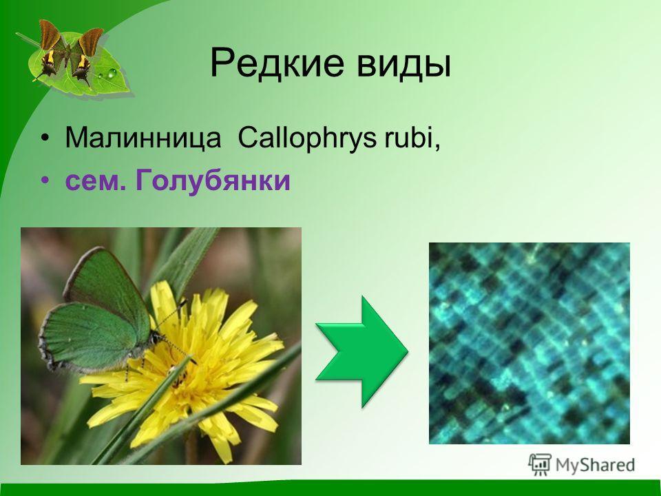 Редкие виды Малинница Callophrys rubi, сем. Голубянки