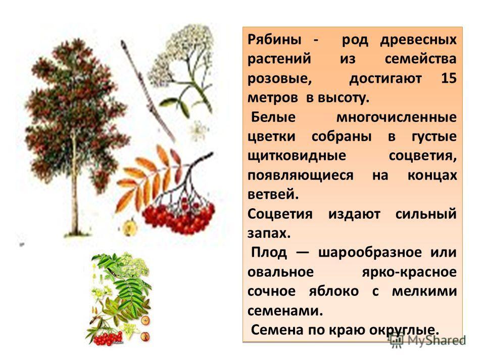 Рябины - род древесных растений из семейства розовые, достигают 15 метров в высоту. Белые многочисленные цветки собраны в густые щитковидные соцветия, появляющиеся на концах ветвей. Соцветия издают сильный запах. Плод шарообразное или овальное ярко-к