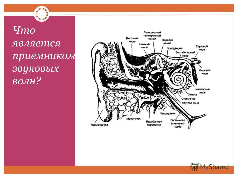 Что является приемником звуковых волн?