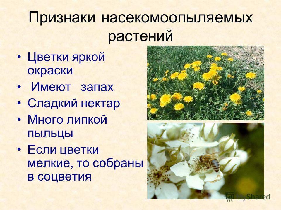 Признаки насекомоопыляемых растений Цветки яркой окраски Имеют запах Сладкий нектар Много липкой пыльцы Если цветки мелкие, то собраны в соцветия