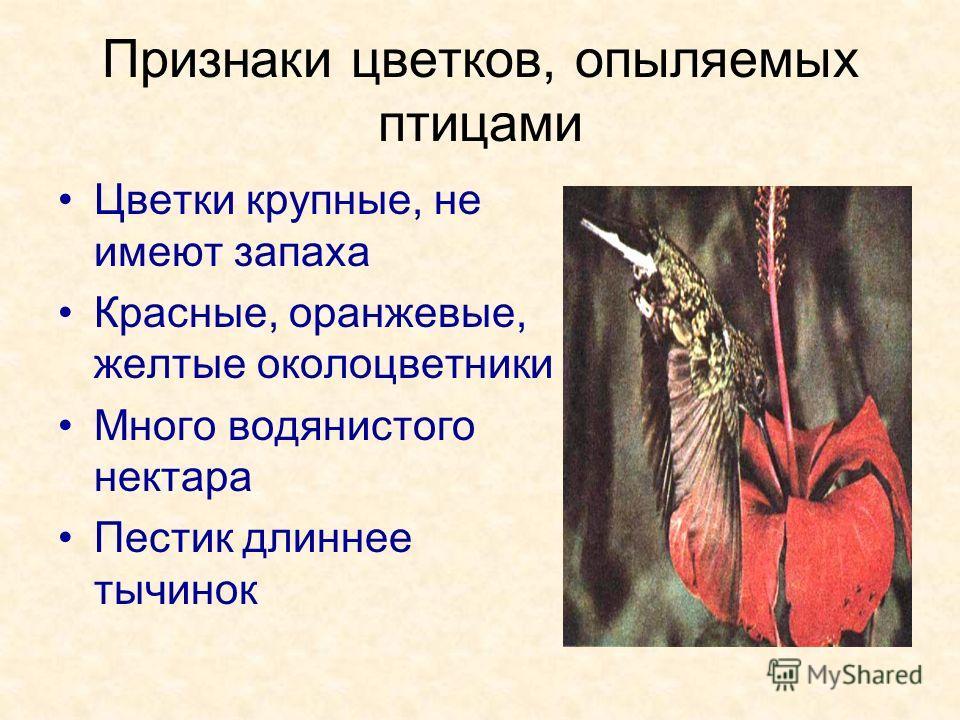 Признаки цветков, опыляемых птицами Цветки крупные, не имеют запаха Красные, оранжевые, желтые околоцветники Много водянистого нектара Пестик длиннее тычинок