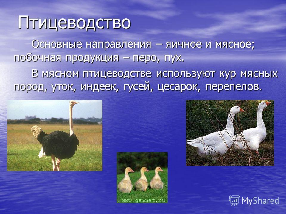 Птицеводство Основные направления – яичное и мясное; побочная продукция – перо, пух. В мясном птицеводстве используют кур мясных пород, уток, индеек, гусей, цесарок, перепелов.