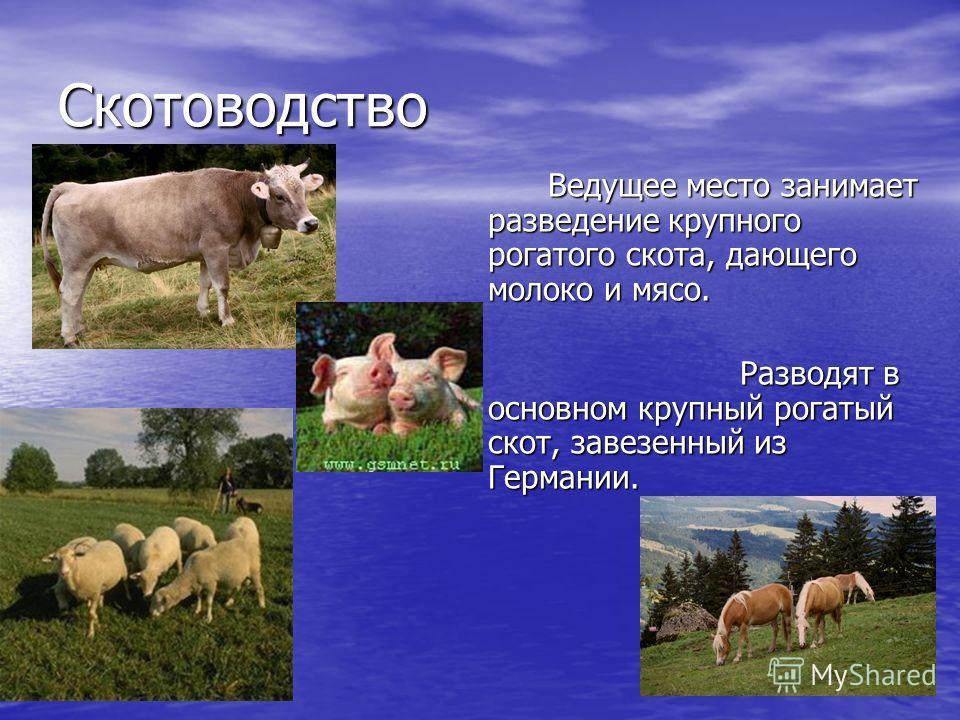 Скотоводство Ведущее место занимает разведение крупного рогатого скота, дающего молоко и мясо. Разводят в основном крупный рогатый скот, завезенный из Германии.