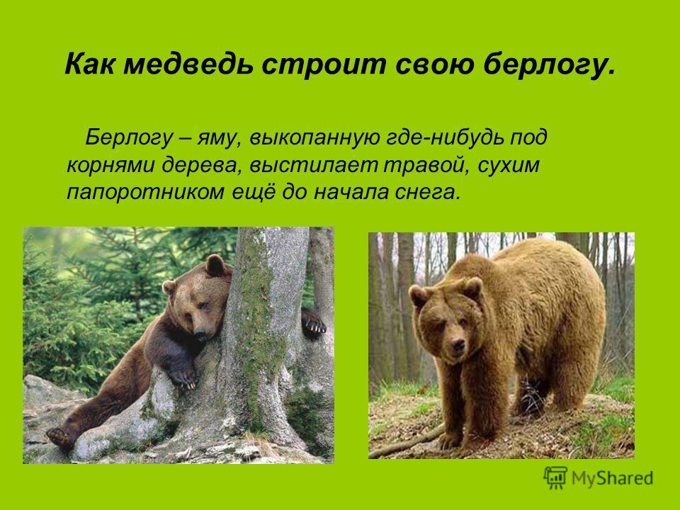 Как медведь строит свою берлогу. Берлогу – яму, выкопанную где-нибудь под корнями дерева, выстилает травой, сухим папоротником ещё до начала снега.