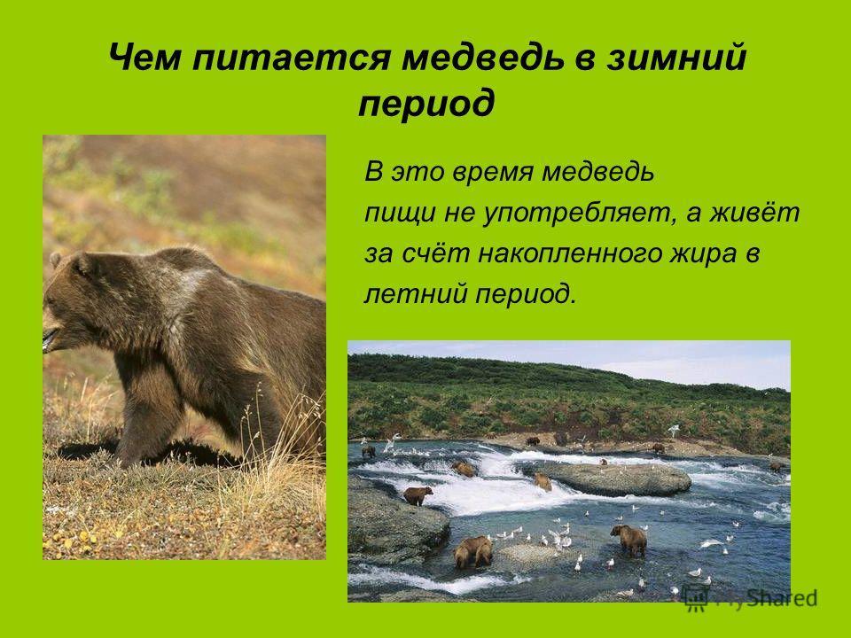 Чем питается медведь в зимний период В это время медведь пищи не употребляет, а живёт за счёт накопленного жира в летний период.