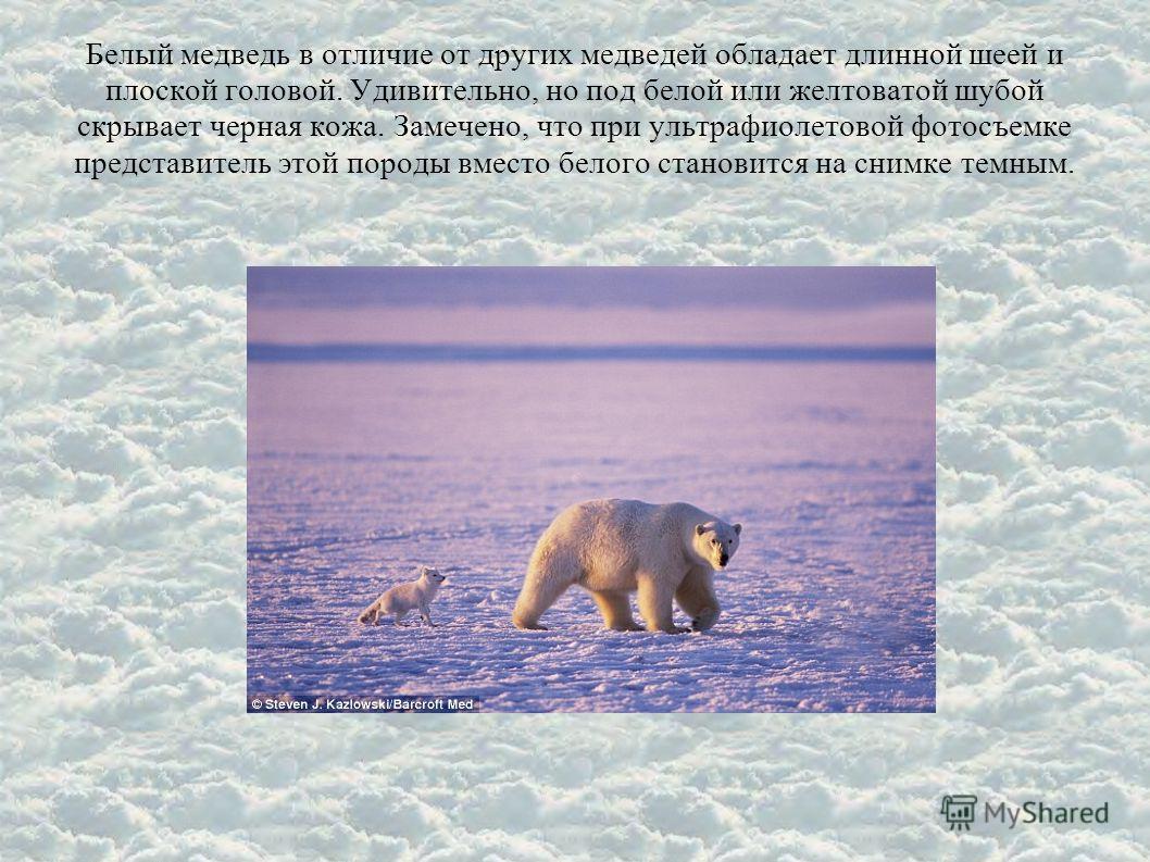 Белый медведь в отличие от других медведей обладает длинной шеей и плоской головой. Удивительно, но под белой или желтоватой шубой скрывает черная кожа. Замечено, что при ультрафиолетовой фотосъемке представитель этой породы вместо белого становится