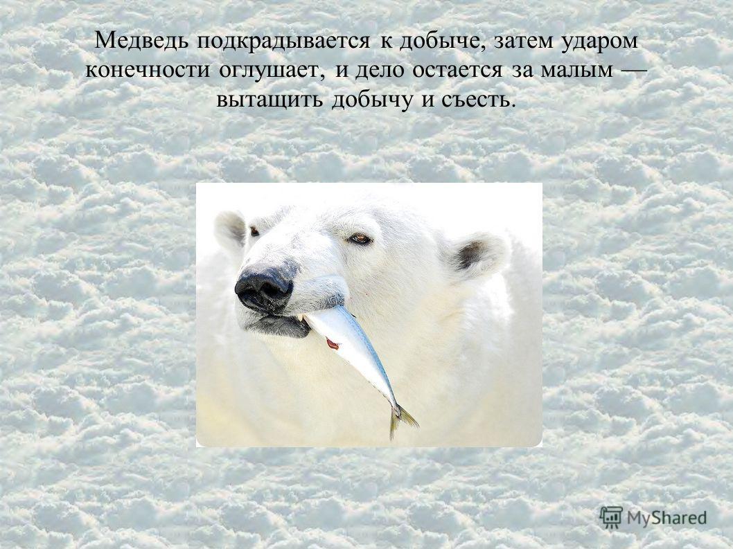 Медведь подкрадывается к добыче, затем ударом конечности оглушает, и дело остается за малым вытащить добычу и съесть.