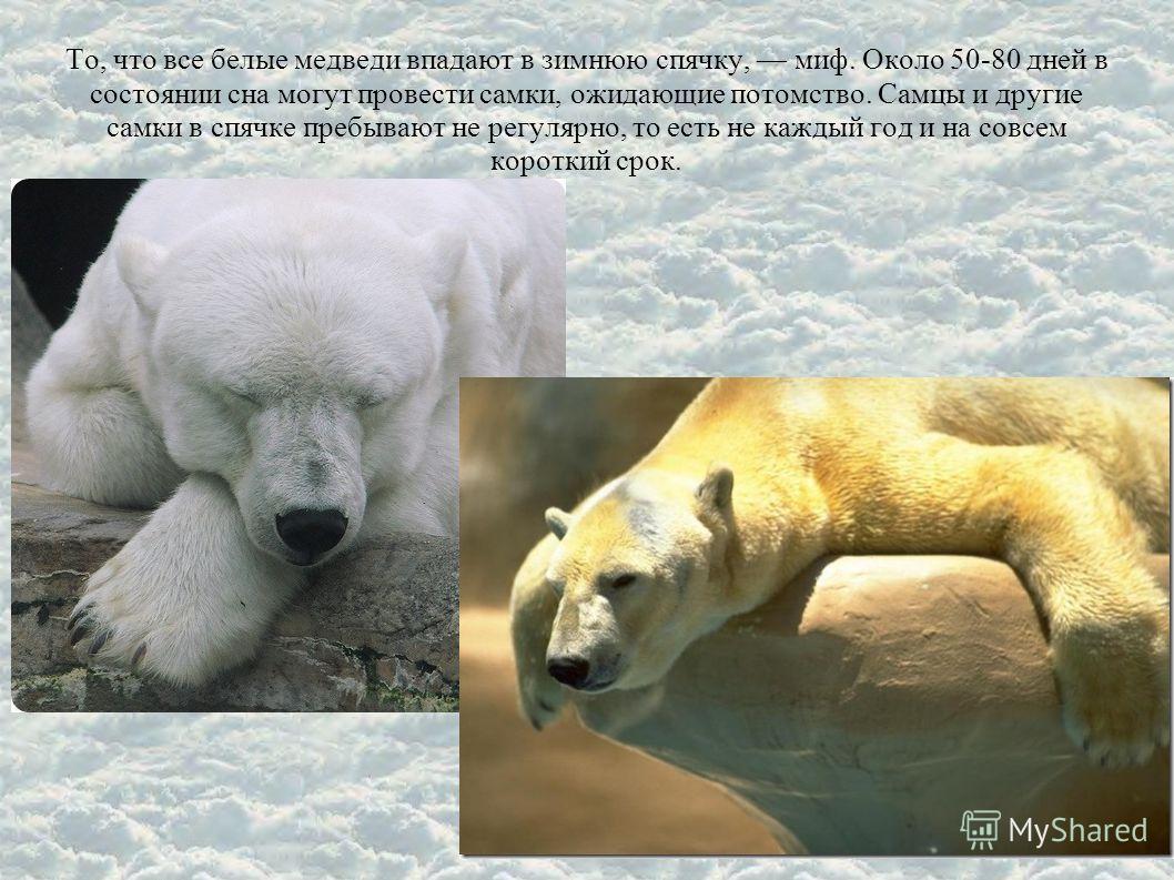 То, что все белые медведи впадают в зимнюю спячку, миф. Около 50-80 дней в состоянии сна могут провести самки, ожидающие потомство. Самцы и другие самки в спячке пребывают не регулярно, то есть не каждый год и на совсем короткий срок.