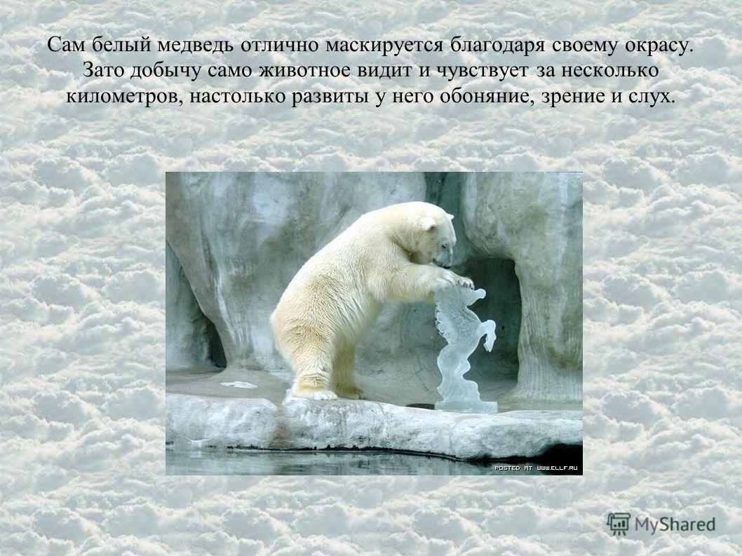 Сам белый медведь отлично маскируется благодаря своему окрасу. Зато добычу само животное видит и чувствует за несколько километров, настолько развиты у него обоняние, зрение и слух.